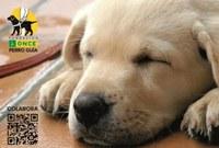 cachorro futuro perro guía