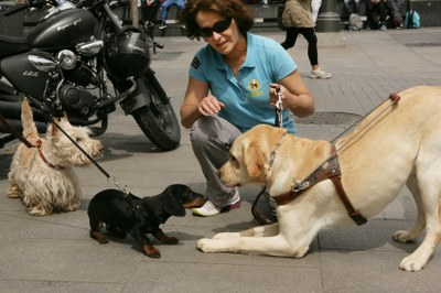 Perro en entrenamiento saluda a dos perros de compañía en la calle