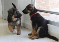 Dos cachorros de pastor alemán de pocos meses juegan en un pasillo de la FOPG