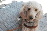 Obi, perro guía de raza Caniche Gigante