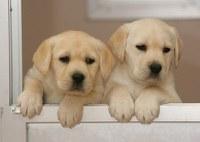 Dos cachorros de Labrador de unos dos meses en las perreras de la Fundación