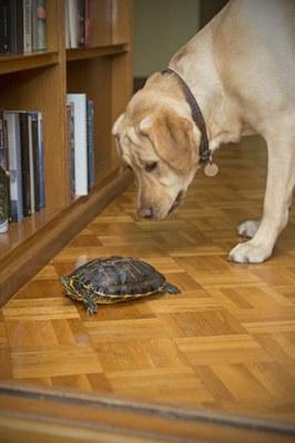 Un Labrador contempla de cerca una tortuga en casa de sus educadores