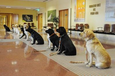 Doce perros en curso de usuario permanecen en posición de quieto en el hall de la residencia de la FOPG