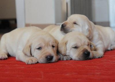 Tres cachorros de pocos días de raza Labrador sobre una colchoneta en su paridera