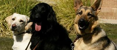 Un Labrador, un Flat Coated y un Pastor alemán en la FOPG